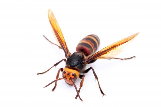 スズメバチ写真